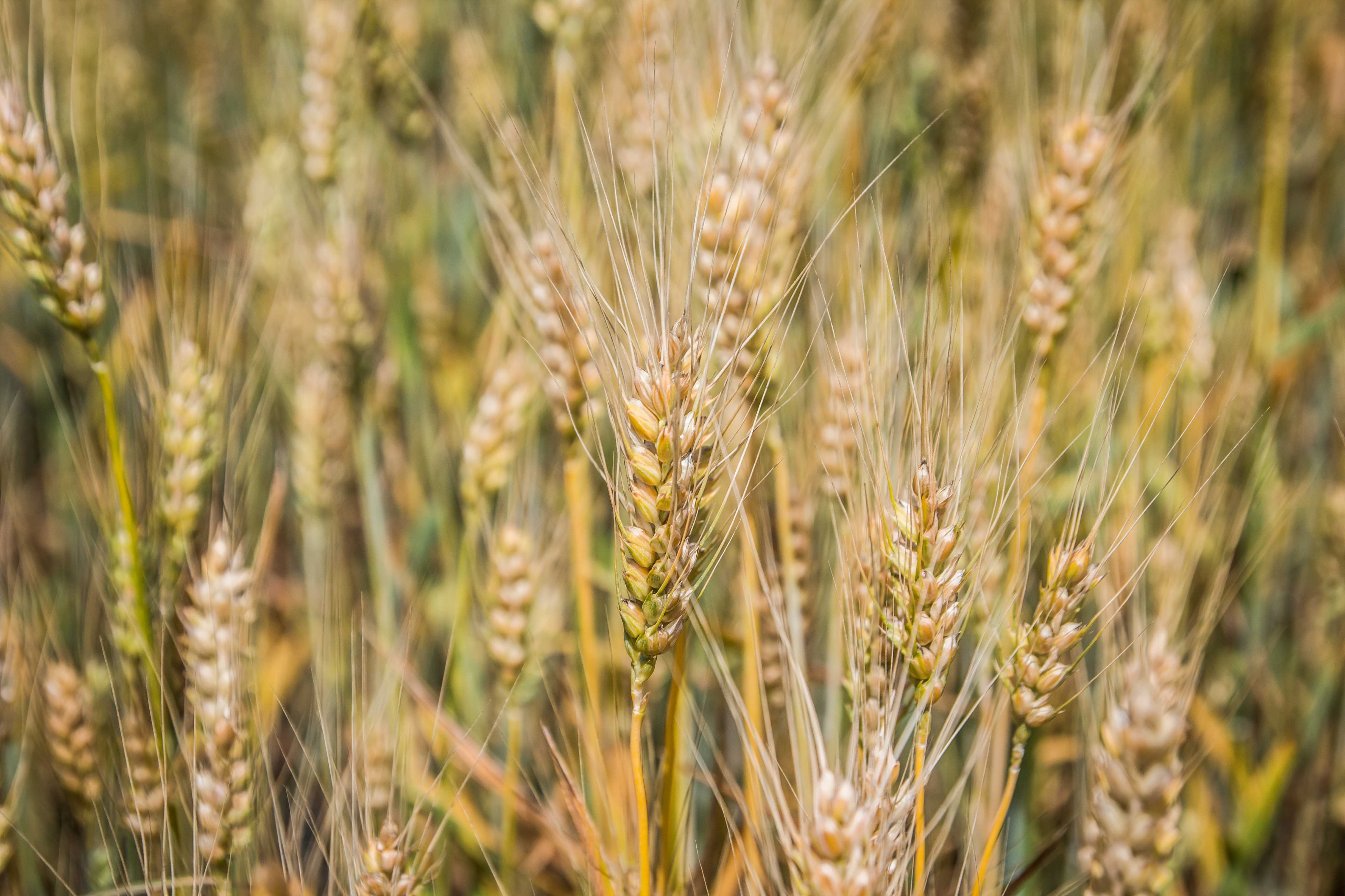 рынок пшеницы