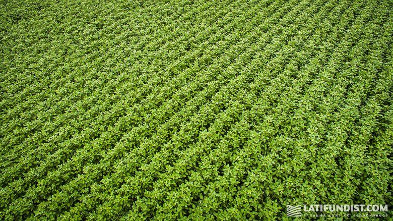 Соевое поле компании Cygnet Agrocompany (Житомирская область)