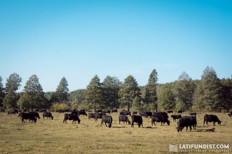 Коровы предприятия «Баффало»