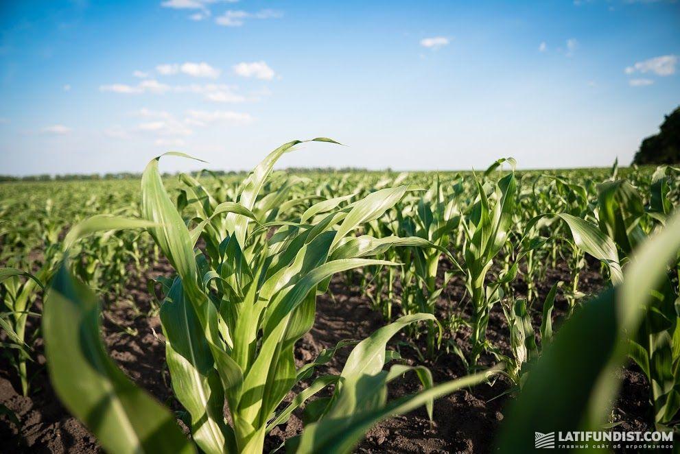 Посевы кукурузы на Smart Field полностью очищены от падалицы подсолнечника