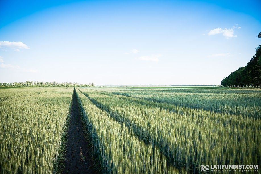Системы защиты пшеницы испытывают с учетом особенностей различных сортов