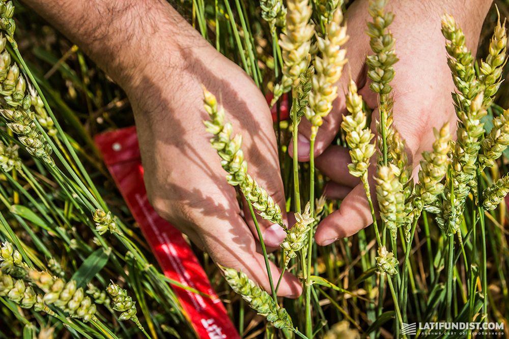 Оценка урожайности пшеницы