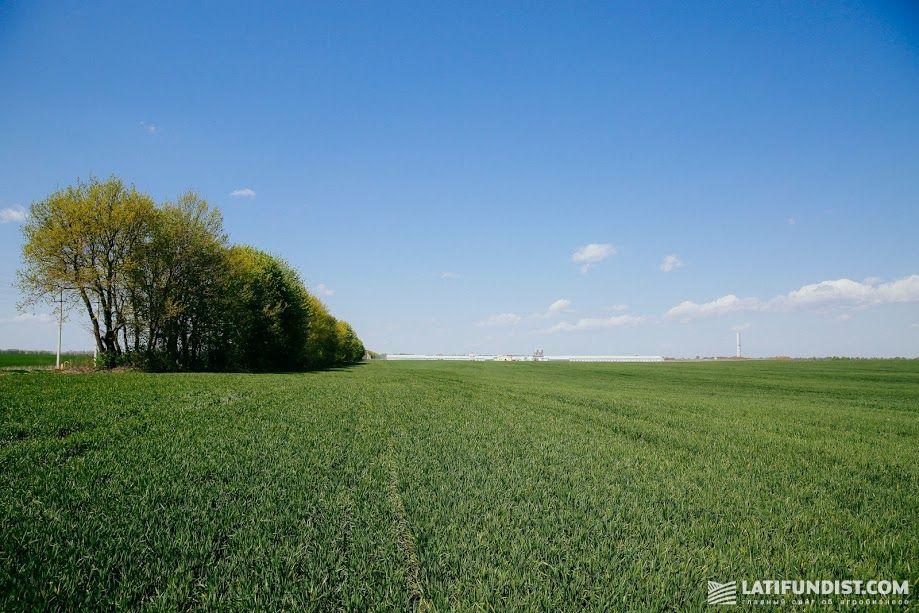 Озимая пшеница на предприятии «Веселиновка» (МХП)