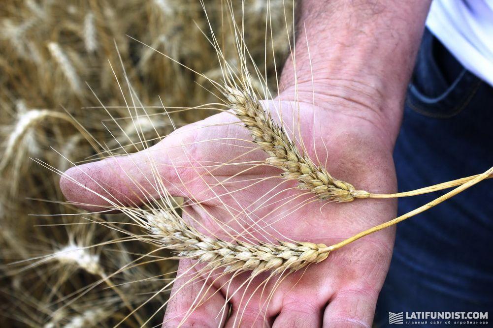 Органическая пшеница