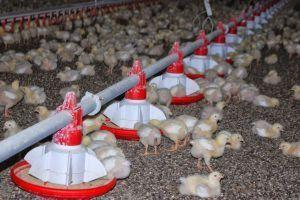 Коллоидное серебро более безопасно препаратов, используемые в птицеводстве