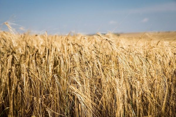 Barley field in Ukraine
