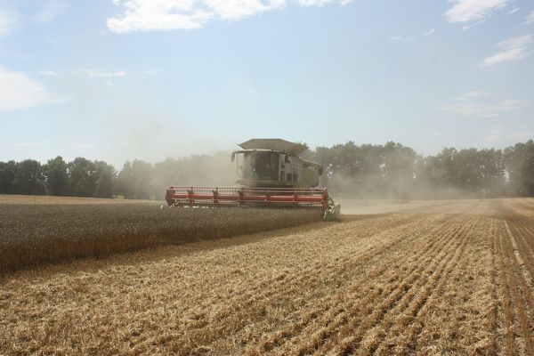 New harvest wheat in ROSTOK-HOLDING