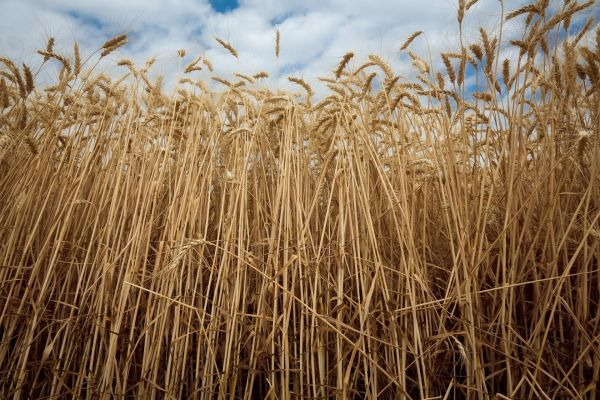 Wheat field in Ukraine