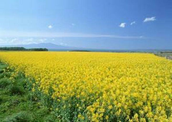 Выращивание ярового рапса в украине 35