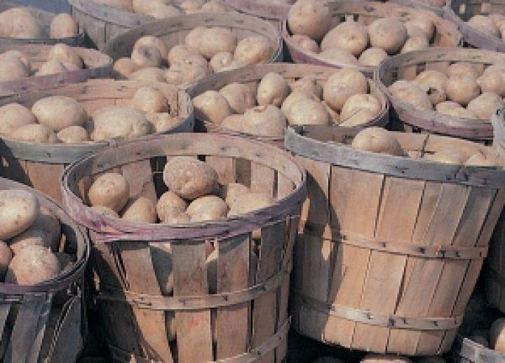 выращивание картофеля в посуде кольца Сатурна