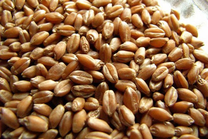 Зерно проращенной пшеницы в диетологии