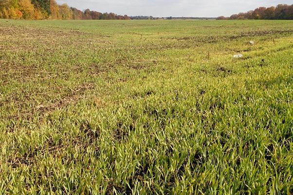 страну, которой озимая пшеница фото весной всходы пожелтели ароматный, насыщенный