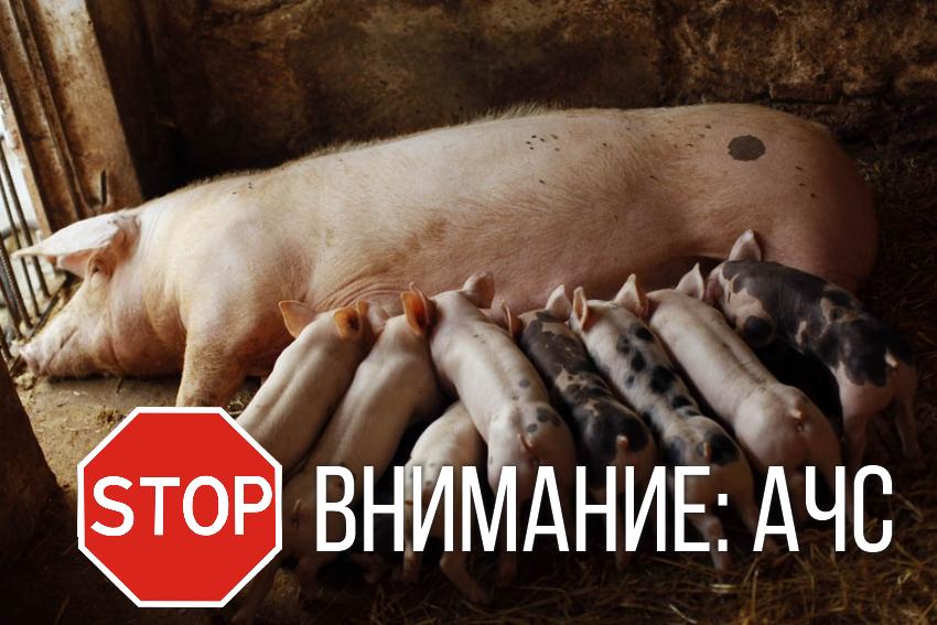 НаХарьковщине вспышка африканской чумы, найдено 6 трупов домашних свиней