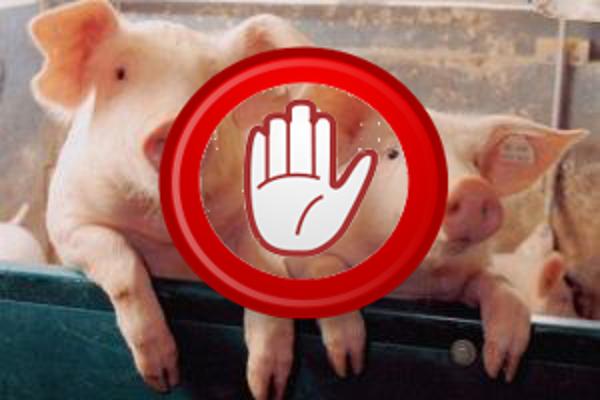 Накрупном свинокомплексе вОдесской области выявили смертоносный вирус АЧС
