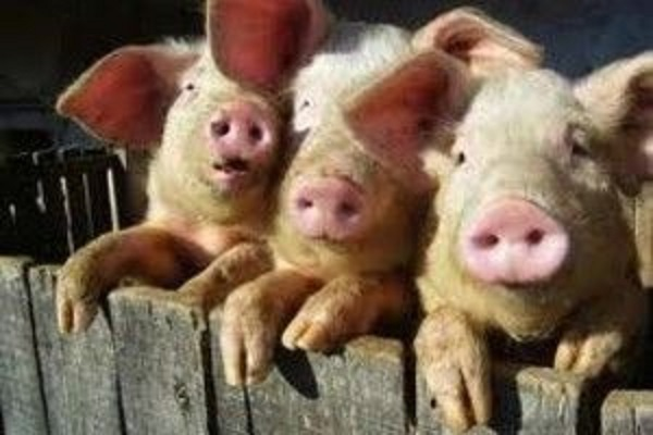 В личном подсобном хозяйстве было зарегистрирована гибель 4 голов свиней