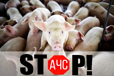 Наферме вНиколаевкой области зафиксировали чуму свиней