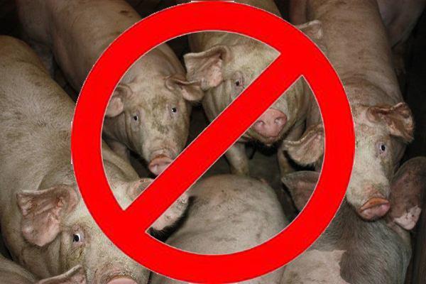 ВХерсонской области зафиксировали очередной случай чумы свиней