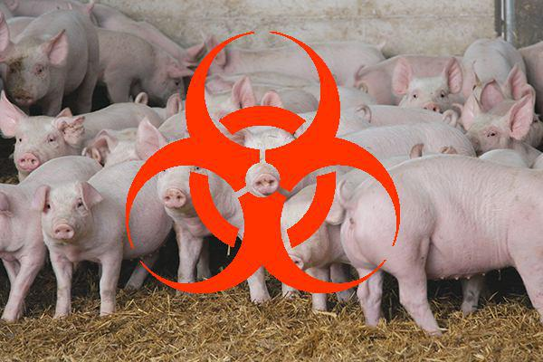 Взоне карантина АЧС под Иркутском уничтожено 1,3 тыс. свиней