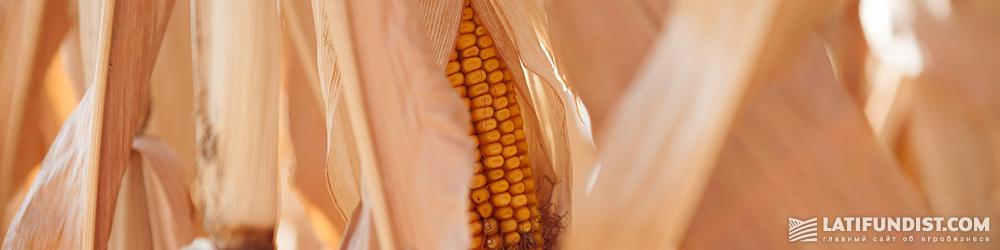 Corn production in Ukraine
