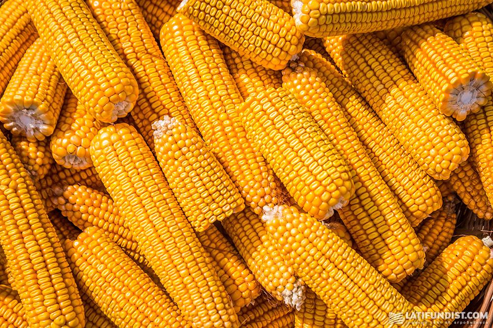 Ukrainian corn
