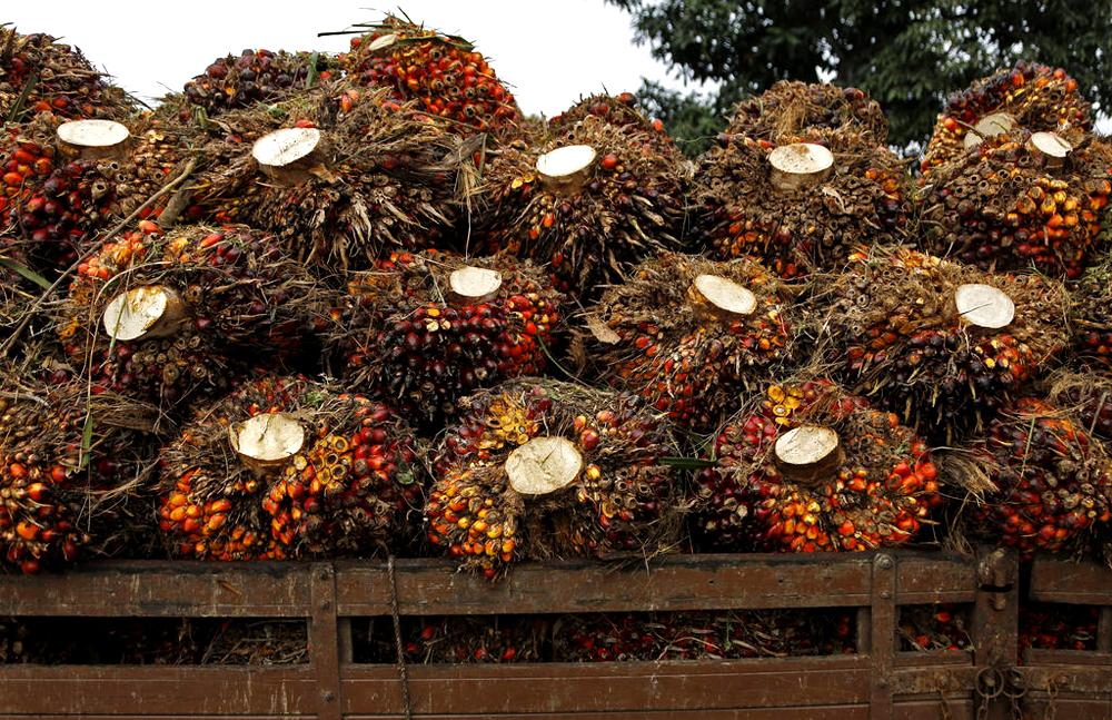 Грозди плодов масличной пальмы