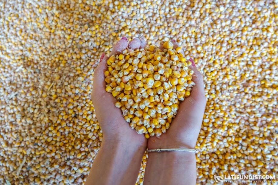 Рост потребления кукурузы ожидается и в Европе — на 13% в ближайшие 8 лет