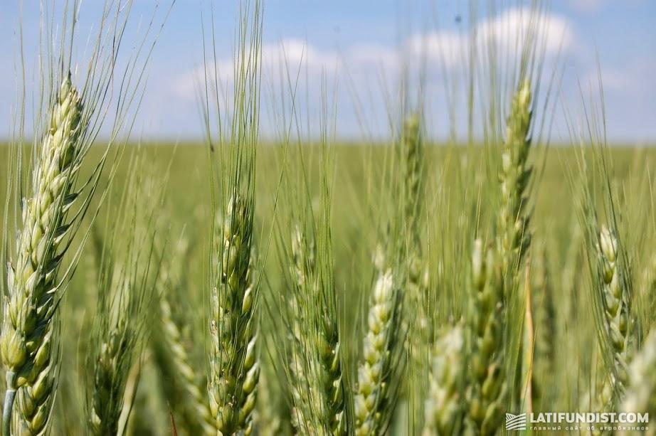 Существенный рост импорта пшеницы будет наблюдаться в Юго-Восточной Азии