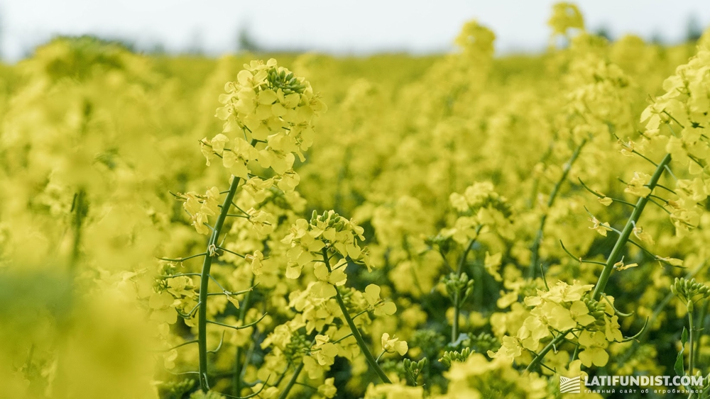 Rapeseed in the Ukrainian field