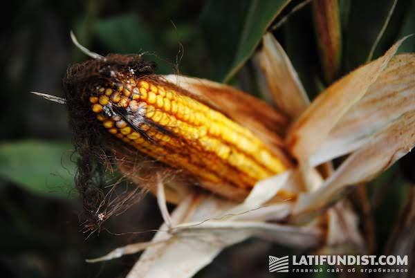 Фузариоз кукурузы