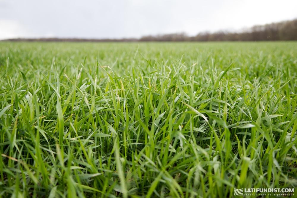 Озимая пшеница компании AgroGeneration