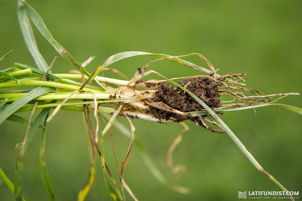 Предприятие «Лан» не потеряло ни одного гектара озимой пшеницы в этом сезоне
