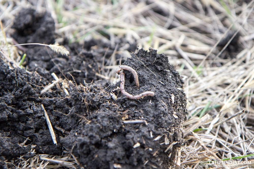На каждые 10 кв. см в почве приходится по 2 червя