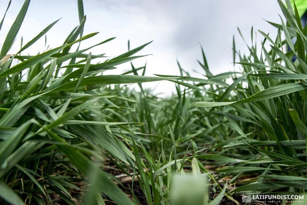Поле озимой пшеницы, на котором поработала сеялка Great Plains с нормой высева 3,5-5 млн/га и междурядьем 19 см
