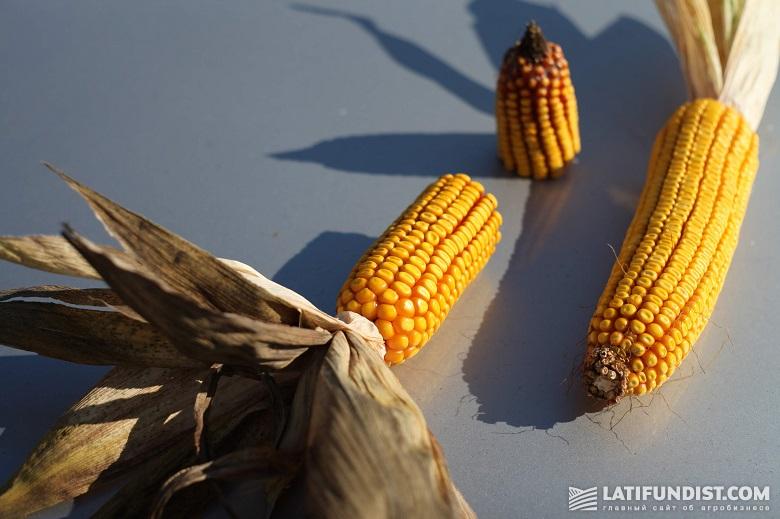 Кукуруза в СПК «Овсяницкий»