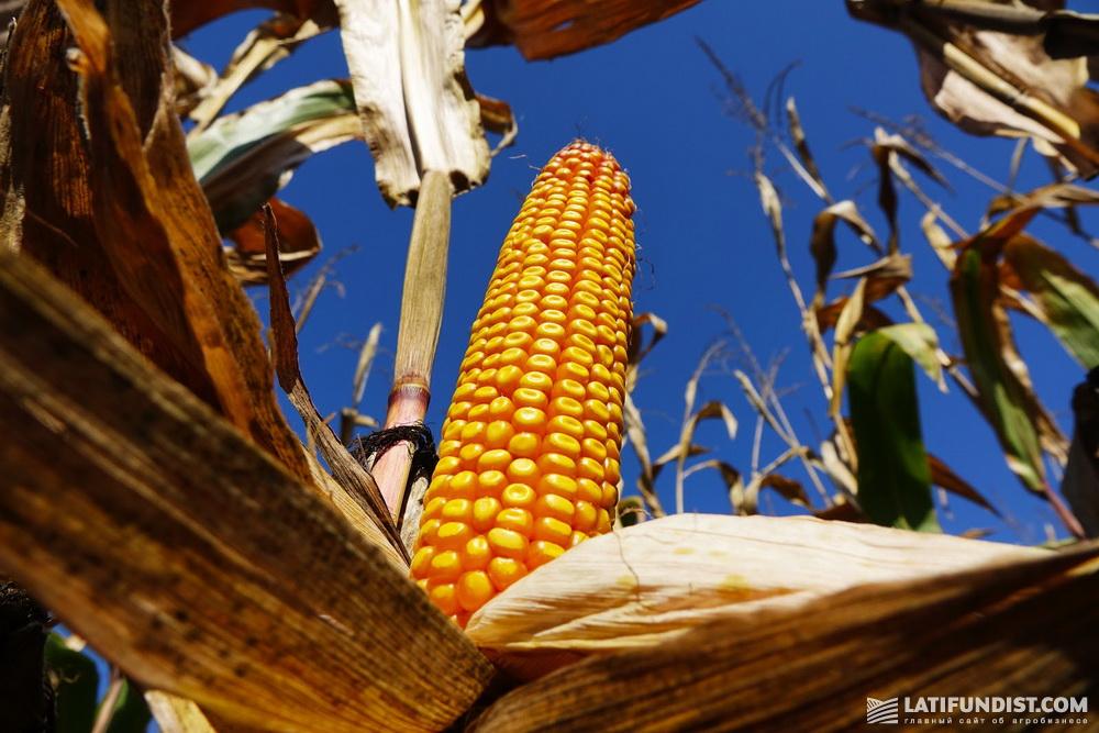 Кукуруза в Cygnet Agrocompany