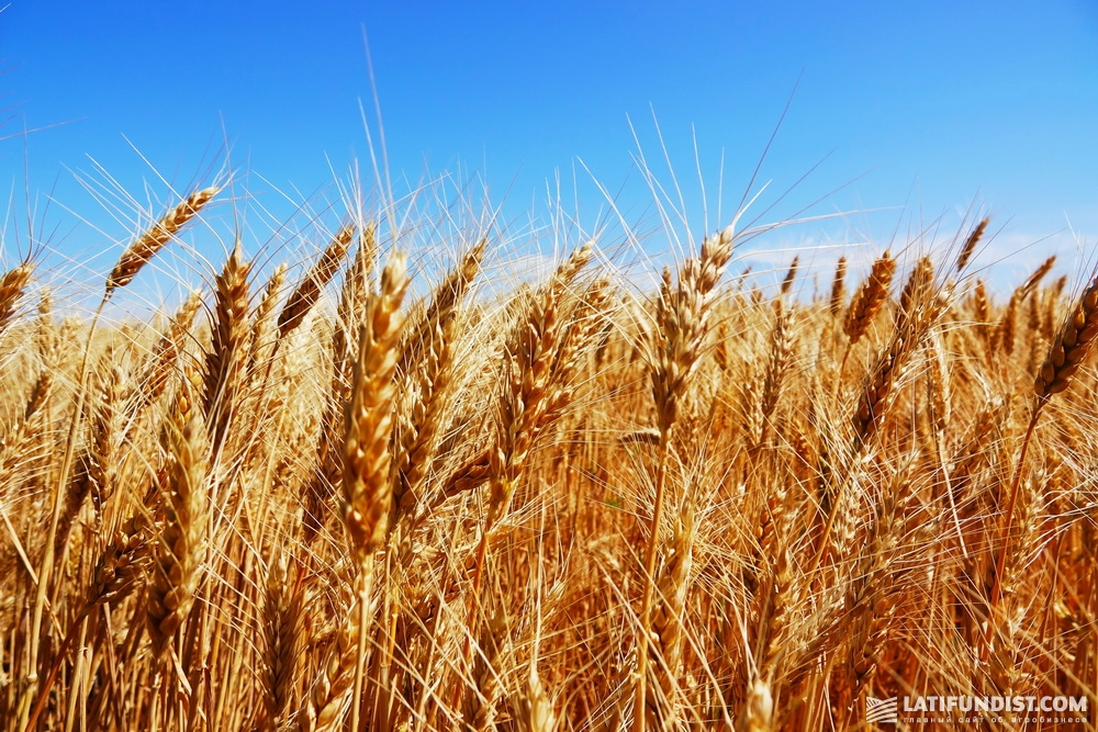 Особенность пшеничного сезона в этом году для «Короны» состоит в том, что здесь не были использованы гербициды