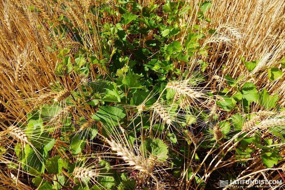 Виноград в посевах пшеницы