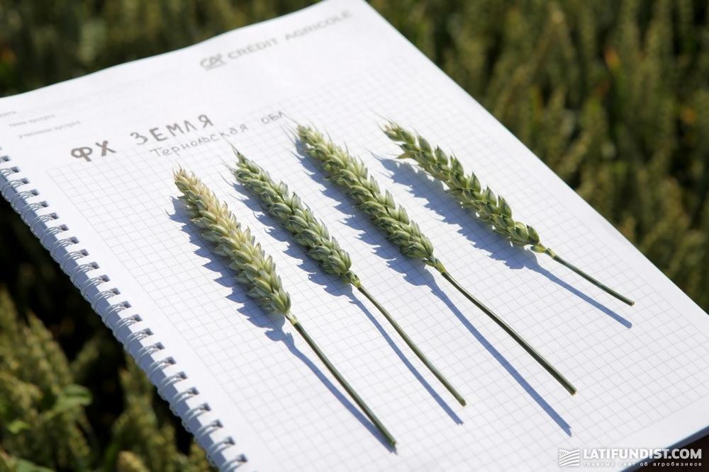 Колоски пшеницы сорта Колониа