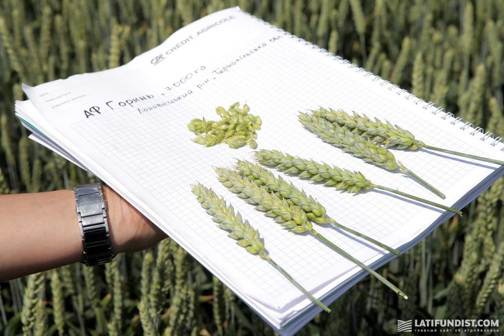 Пшеница агрофирмы «Горынь»