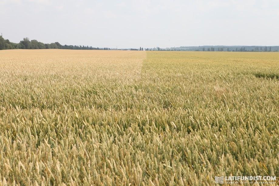 Пшеница в Винницкой области