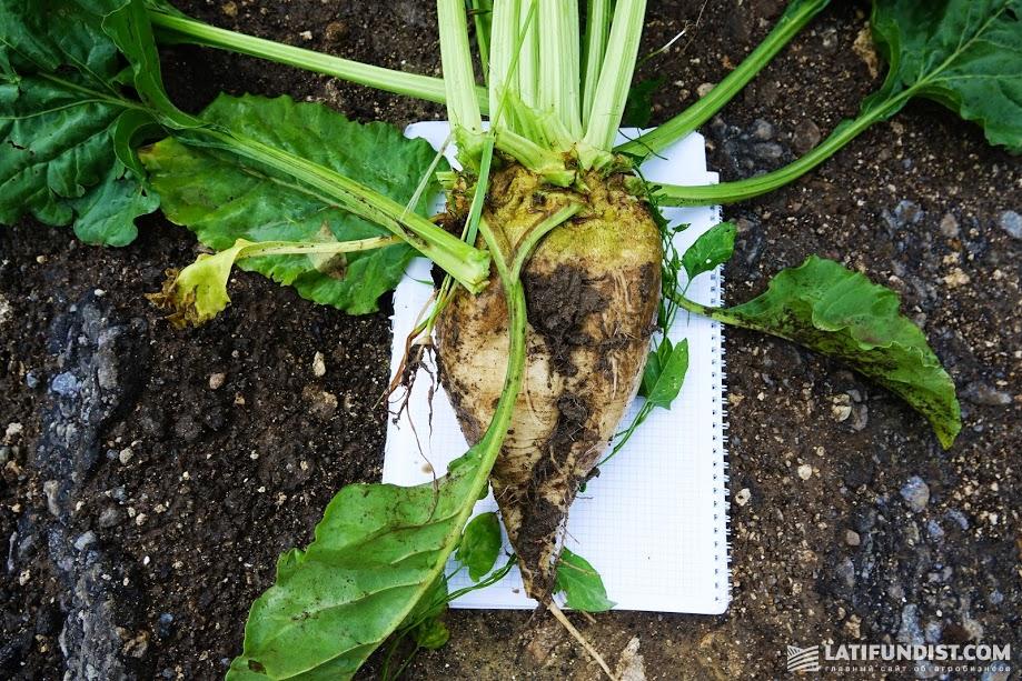 Сахарная свеклая хозяйства «Урожайное»