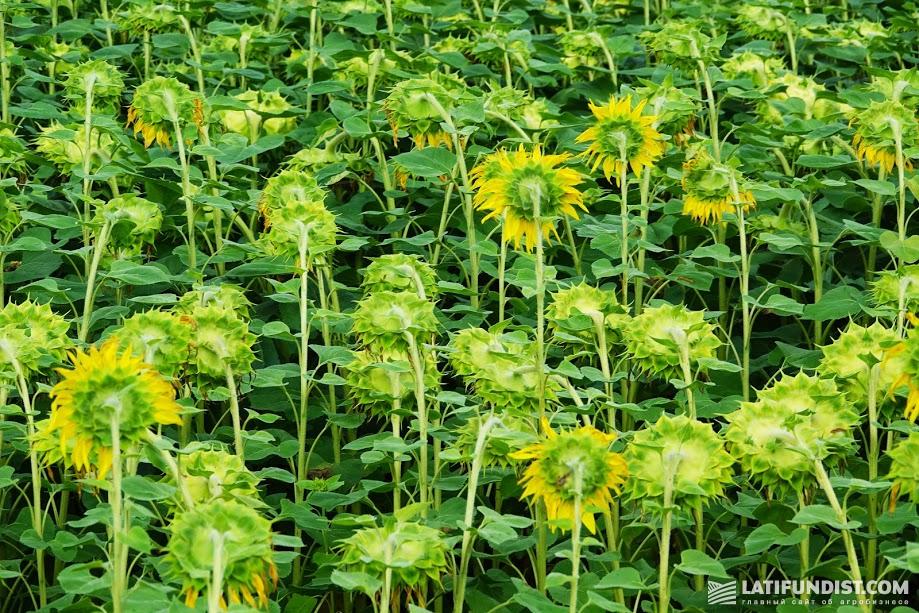 Посевы подсолнечника здоровы