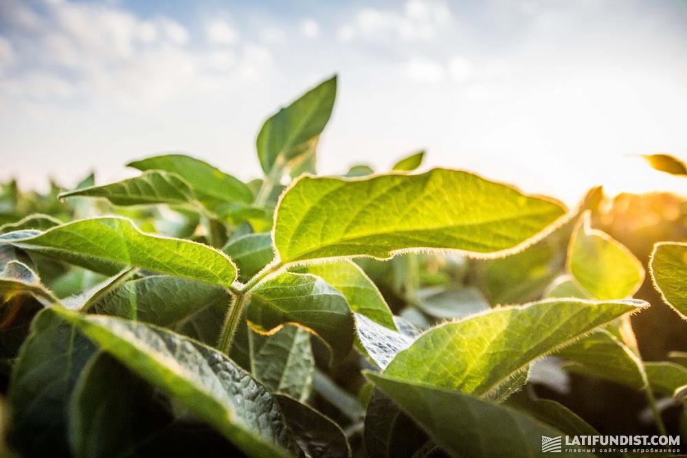 Растения сои