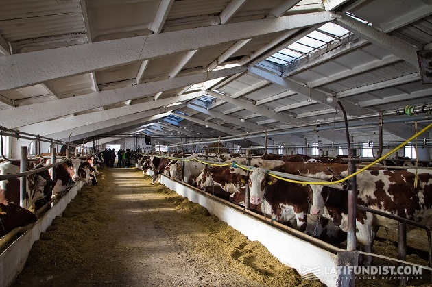 Содержание коров на предприятии