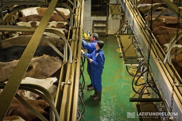 Сотрудники фермы следят за здоровьем каждой коровы
