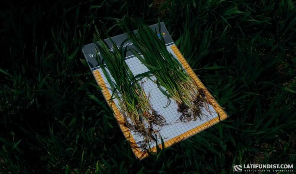 Оценка кустистости озимой пшеницы сортов НС 40 С и Патрас