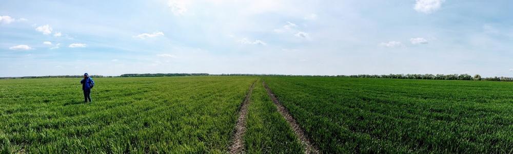 Поле с озимой пшеницей