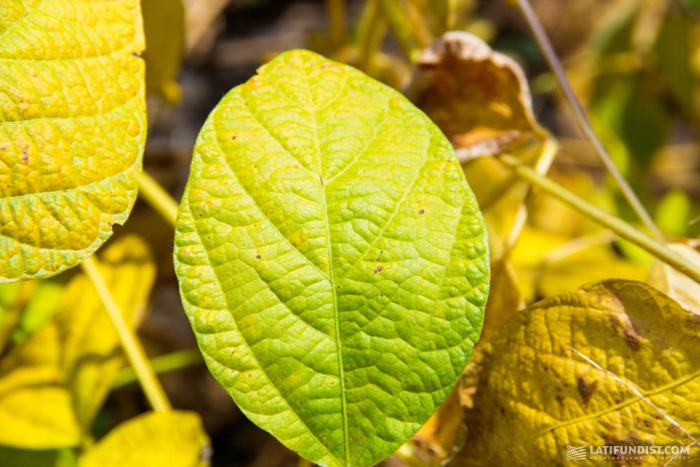 Листья сои «камуфляжного окраса»