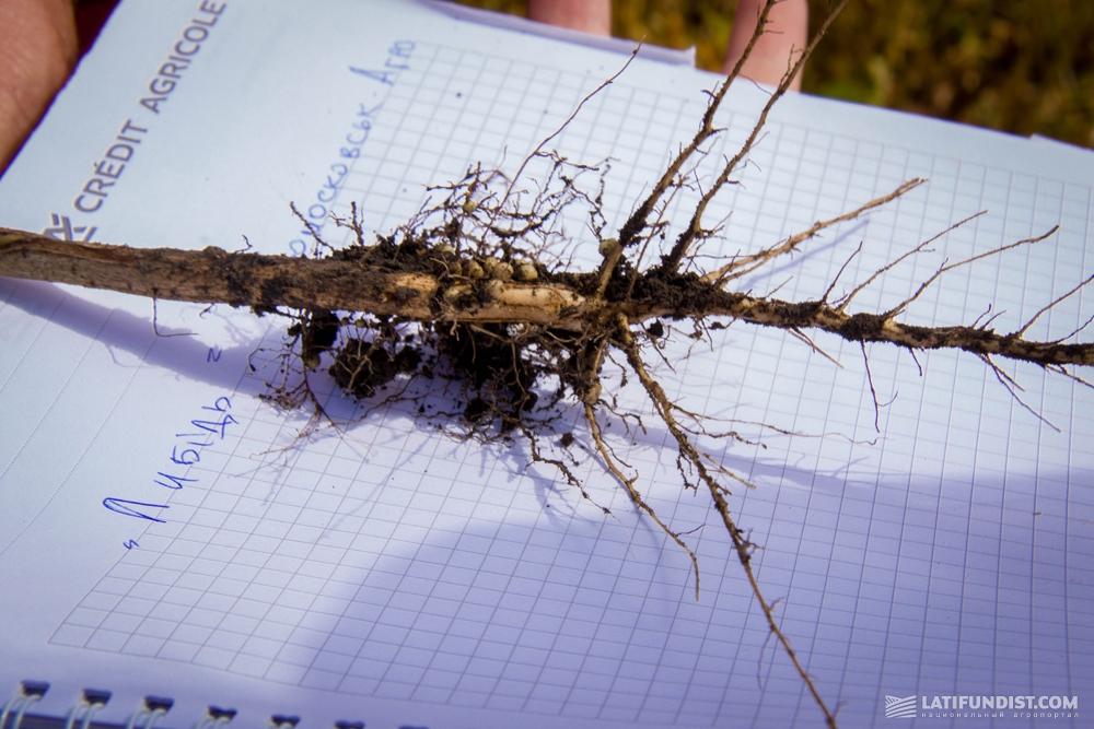 Корневая система растения сорта Лыбидь