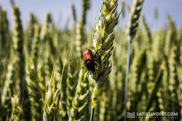 Пшеница на поле «Сокильчи»